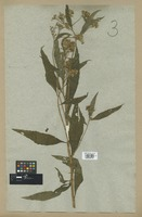 Filed as Ethulia conyzoides L. f. var. africana DC. [family COMPOSITAE]