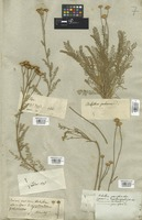 Filed as Pyrethrum achilleifolium M. Bieb. [family COMPOSITAE]