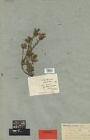 Holotype of Astroloma baxteri DC. [family ERICACEAE]