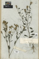 Filed as Porophyllum ruderale (Jacq.) Cass. [family COMPOSITAE]