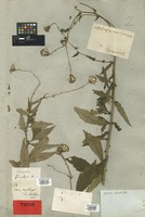 Isotype of Cacalia bicolor Willd. [family COMPOSITAE]