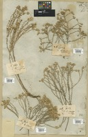 Filed as Helichrysum ericifolium Less. [family COMPOSITAE]
