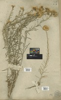 Filed as Helichrysum angustifolium (Lam.) DC. [family COMPOSITAE]