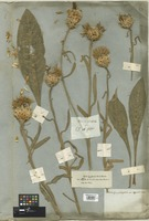 Filed as Centaurea glastifolia L. [family COMPOSITAE]