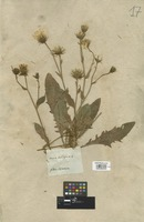 Filed as Hieracium amplexicaule L. [family COMPOSITAE]