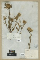 Filed as Callistephus chinensis (L.) Nees [family COMPOSITAE]