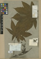 Filed as Ricinus communis L. f. hybridus (Besser) Müll. Arg. [family EUPHORBIACEAE]