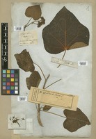 Filed as Jatropha curcas L. [family EUPHORBIACEAE]