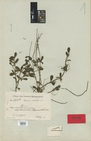 Holotype of Peperomia silvicola C. DC. [family PIPERACEAE]