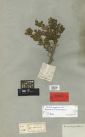 Holotype of Baccharis pedicellata DC. [family COMPOSITAE]