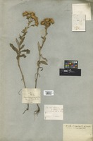 Filed as Inula micranthos Poir. [family COMPOSITAE]