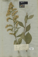 Filed as Solidago sp. [family COMPOSITAE]