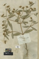 Filed as Flaveria angustifolia (Cav.) Pers. [family COMPOSITAE]