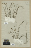 Filed as Sclerolepis verticillata (Michx.) Cass. [family COMPOSITAE]