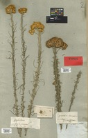 Filed as Helichrysum semipapposum (Labill.) DC. [family COMPOSITAE]