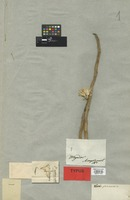 Holotype of Kleinia pteroneura DC. [family COMPOSITAE]