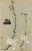 Filed as Senecio pubigerus L. [family COMPOSITAE]