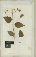 Filed as Eupatorium ageratoides L. f. [family COMPOSITAE]