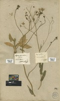 Filed as Crepis pulchra L. [family COMPOSITAE]