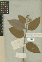 Filed as Vismia guianensis (Aubl.) Pers. var. glabrata Choisy [family CLUSIACEAE]