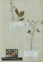 Filed as Phyllanthus nobilis (L. f.) Müll. Arg. var. genuinus (L. f.) Müll. Arg. [family EUPHORBIACEAE]