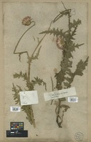 Filed as Carduus defloratus L. var. cirsioides (Vill.) DC. [family COMPOSITAE]