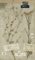 Filed as Pyrethrum parthenifolium Willd. [family COMPOSITAE]