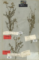 Syntype of Cyathocline stricta DC. [family COMPOSITAE]