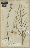 Filed as Helianthus angustifolius L. [family COMPOSITAE]