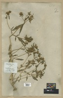 Filed as Bidens tripartita L. [family COMPOSITAE]