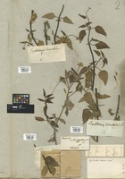 Filed as Spilanthes mutisii Kunth [family COMPOSITAE]