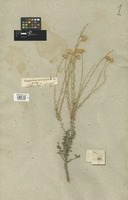 Filed as Helichrysum microphyllum (Willd.) Cambess. [family COMPOSITAE]