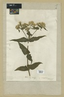 Filed as Eupatorium truncatum Willd. [family COMPOSITAE]