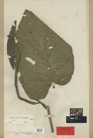 Holotype of Piper guayasanum C. DC. [family PIPERACEAE]