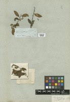 Filed as Sebastiania pachystachys (Klotzsch) Müll. Arg. var. genuina Müll. Arg. [family EUPHORBIACEAE]