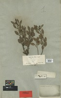 Holotype of Andromeda venulosa DC. [family ERICACEAE]