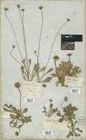 Filed as Bellis perennis L. [family COMPOSITAE]
