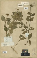 Filed as Heliopsis buphthalmoides (Jacq.) Dunal [family COMPOSITAE]