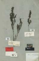Isotype of Erica parilis Salisb. [family ERICACEAE]