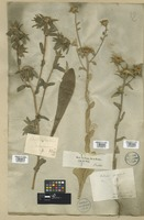 Filed as Pallenis spinosa (L.) Cass. [family COMPOSITAE]
