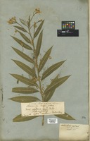 Filed as Senecio fuchsii C. C. Gmel. [family COMPOSITAE]