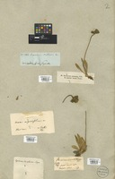 Filed as Hieracium L. [family COMPOSITAE]