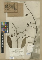 Filed as Phyllanthus nobilis (L. f.) Müll. Arg. var. antillanus (A. Juss.) Müll. Arg. [family EUPHORBIACEAE]