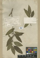 Filed as Mecranium amygdalinum (Desr.) C. Wright f. subintegerrimum Cogn. [family MELASTOMATACEAE]