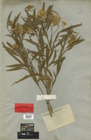 Syntype of Baccharis coerulescens DC. [family COMPOSITAE]