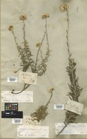 Filed as Anaxeton arborescens (L.) Less. [family COMPOSITAE]