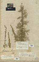 Filed as Artemisia annua L. [family COMPOSITAE]