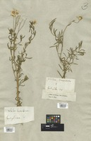 Filed as Ptarmica grandiflora (M. Bieb.) DC. [family COMPOSITAE]