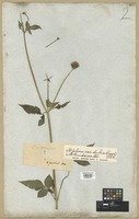 Filed as Bidens sundaica Blume [family COMPOSITAE]