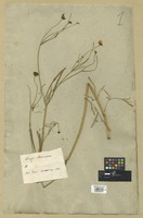 Filed as Calliopsis atkinsoniana (Lindl.) Hook. [family COMPOSITAE]